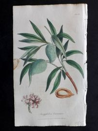 Cox Medical Botany 1822 Hand Col Botanical Print. Almond Tree 84